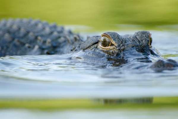 lake alice alligator